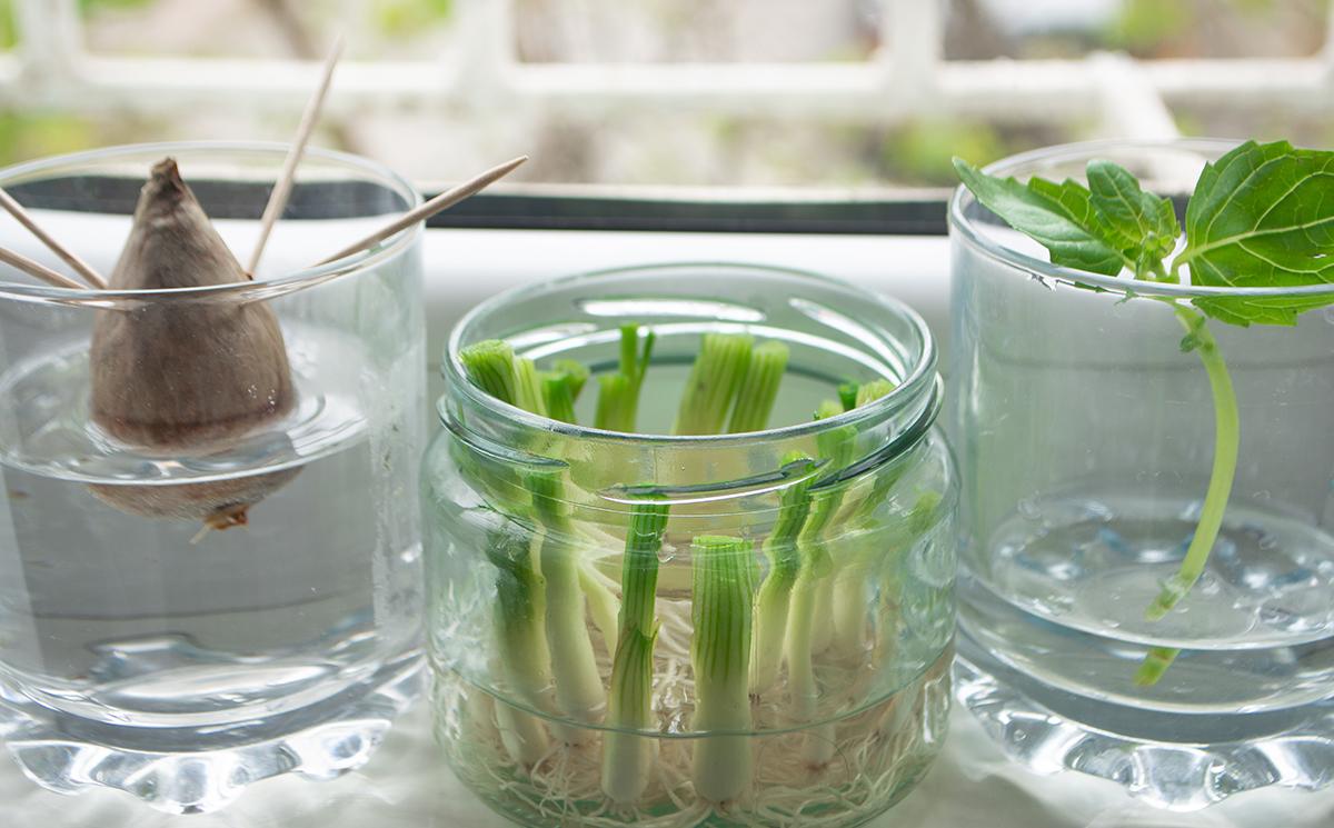 Growing vegetables in jars from scraps