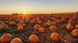 A pumpkin field at sunset